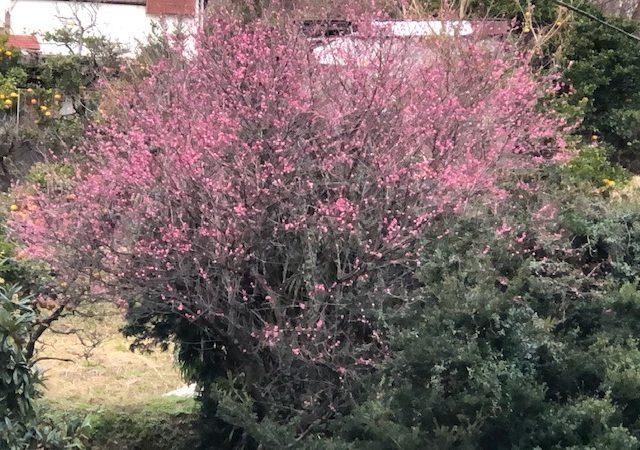 01-17:白波小道に桃の花が咲き始めました。